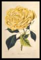 Rose Maréchal Niel.png