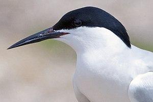 Roseate tern - Roseate tern profile