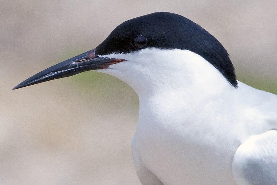 Roseate Tern portrait