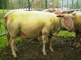 Le Mouton dans l'astrologie dans MOUTON