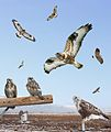 Rough-legged Hawk - adult light From The Crossley ID Guide Raptors.jpg