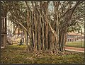 Rubber tree in the U.S. barracks, Key West-LCCN2008678266.jpg