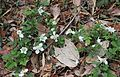 Rubus hirsutus 0s2.JPG