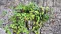 Rubusoj en Luksemburgo.jpg