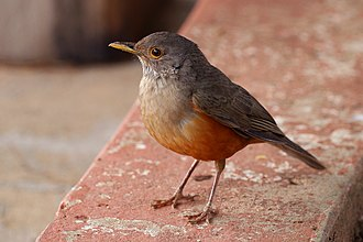 National symbols of Brazil - Image: Rufous bellied thrush (Turdus rufiventris)