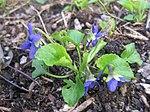 Ruhland, Grenzstr. 3, Duftveilchen im Garten, blau blühend, Frühling, 13.jpg