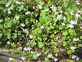 Ruhland, Grenzstr. 3, Mauer-Zimbelkraut im Garten, blühend, Frühling, 06.jpg