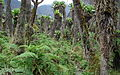 Ruwenzori Vegetation 4.jpg