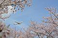 SAKURA Japan Airlines, Boeing 787-8 NRT (26337990205).jpg