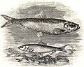 SFR b+w - herring.jpg