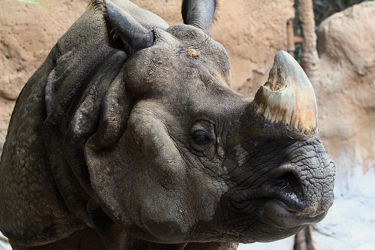 rhino poaching in assam By our staff reporter guwahati, august 8: state forest minister pramila rani brahma has said in the assam assembly that it is impossible to wipe out rhino poaching in the state till the intertiol rhino market is smashed.