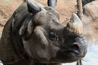 Indian rhinoceros - The Indian rhinoceros's single horn