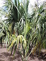Sabal palmetto kz1.JPG