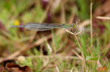 Saffron-faced blue dart Pseudagrion rubriceps Saffron-faced Blue Dart (Pseudagrion rubriceps) W IMG 0876.jpg