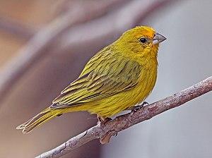 Saffron finch - Male, Brazil