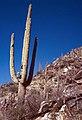 Saguaro National Park-14-Saguaro-1980-gje.jpg