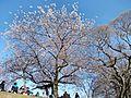 Sakura at Maizuru Park 02.jpg