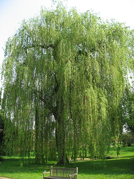 File:Salix alba 'Tristis' 02 by Line1.jpg