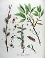 Salix caprea — Flora Batava — Volume v11.jpg