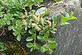 Salix simulatrix kz03.jpg