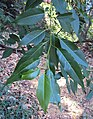 Salix tetrasperma 03.JPG