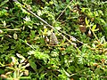 Salt and Pepper Moth from Pathazhakkundu.JPG