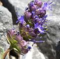 Salvia dorrii var clokeyi 11.jpg