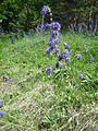 Salvia nutans1.jpg