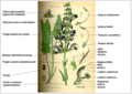 Salvia pratensis Thomè DESC.png