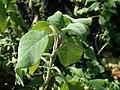 Salvia tomentosa 2020-02-08 8043.jpg