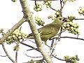 Sanhaçu-do-coqueiro (Tangara palmarum - Wied, 1821)se alimentando de frutos de figueira (Ficus sp. Moraceae) 01.jpg