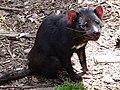Sarcophilus harrisii, Trowunna.jpg