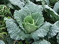 Savoy Cabbage.jpg