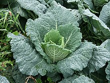 Savoy Cabbage Wikipedia