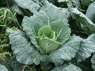 Savoy cabbage vegetable