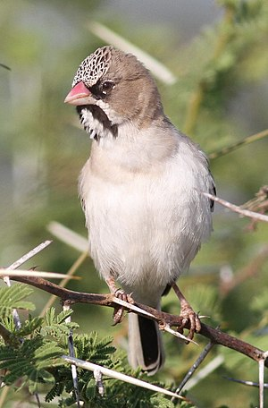 Ploceidae - Image: Scaly feathered weaver, Sporopipes squamifrons (also known as the scaly feathered finch) at Mapungubwe National Park, Limpopo, South Africa (17244861824)