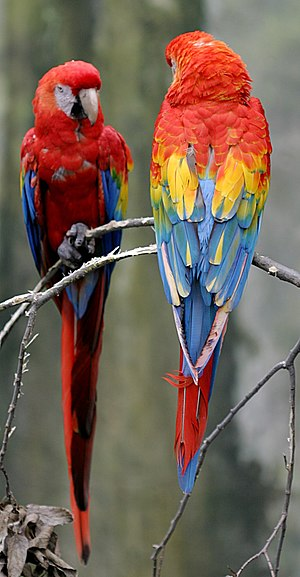 Wildlife of Costa Rica - The scarlet macaw is native to Costa Rica.