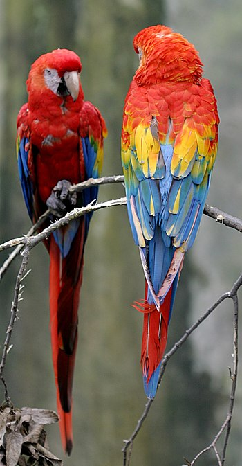 English: Two Scarlet Macaws at the Henry Doorl...