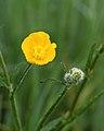 Scherpe boterbloem (Ranunculus acris) 01.JPG
