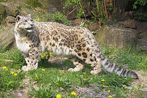 Snow leopard - Snow leopard at Cologne Zoological Garden
