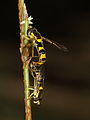 Schwebfliege copula (9049925118).jpg