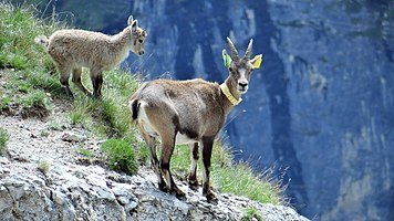 Scientific monitoring of ibex in Vanoise National Park, France (3).jpg