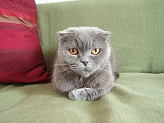 Kot rasy Scottish Fold- Aurora