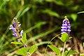 Scutellaria indica 2.jpg