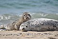 Seals at Nantucket National Wildlife Refuge (5961318915).jpg