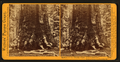 Section of the Grizzly Giant, 33 ft. diameter, Mariposa Grove, Mariposa County, Cal, by Watkins, Carleton E., 1829-1916.png