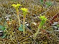Sedum acre (Crassulaceae) (Biting Stonecrop) - (flowering), Molenhoek, the Netherlands.jpg