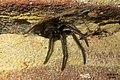 Segestria florentina 5 (FG) (32992192366).jpg
