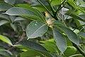 Semal (Bombax ceiba) leaf in Kolkata W IMG 9726.jpg