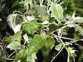 Senecio appendiculatus var. viridis.jpg